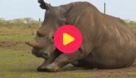 neushoorn Sudan gestorven