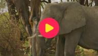 ivoor olifanten