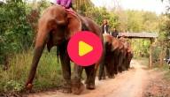 Olifanten gered in Laos