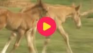 paardentweeling