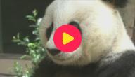 Oudste panda overleden