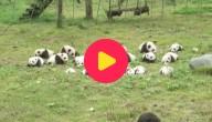 42 panda's geboren