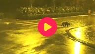 Panda op zebrapad