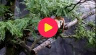 Rode panda ontsnapt