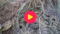 kuil vol slangen