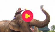 zwangere olifanten