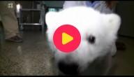 Luna de ijsbeer