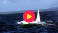 Witte orka