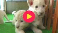Vijf tijgerwelpen voor het eerst naar buiten