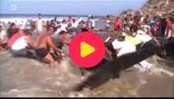 walvis gered