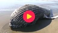 bultrugwalvis