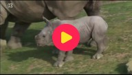 babyneushoorn