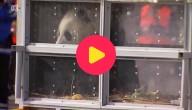 Reuzenpanda's aangekomen