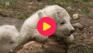 Kleine ijsbeer