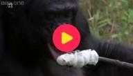 Bonobo aap