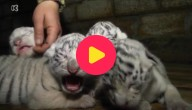 Witte tijgertjes