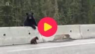 Moederbeer redt jong