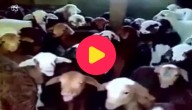 geiten