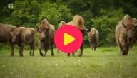Europese bizons, wisenten
