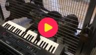 Otters op de piano