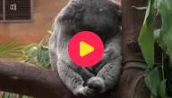 Koalababy in Planckendael