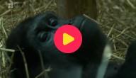 gorilla kiki