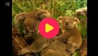 5 generaties koala's onder één dak