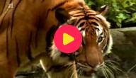 tijgers bedreigd
