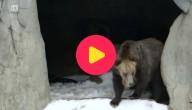 grizzlybeer in de sneeuw