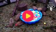 Stokstaartjes en hun ballenbad
