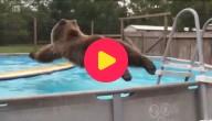 Bruiser de beer neemt een verfrissende duik
