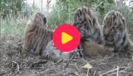 tijgerdrieling
