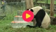 oudste reuzenpanda