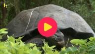zeldzame schildpad in Ecuador
