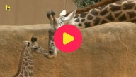 baby giraf