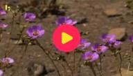 Woestijn Chilli bloemen