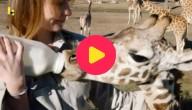 Jonge giraffen worden verzorgd