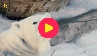 sneeuw voor de ijsberen