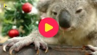 koala viert kerst