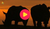 Afrikaanse neushoorns