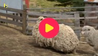 Sheila het schaap