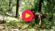 jaguar in het wild