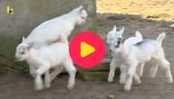 Kleine geitjes