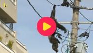 Aap hangt aan elektriciteitspaal