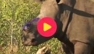 Neushoorn zonder hoorn