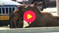 De eland met zijn kleintje