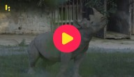 neushoorn verhuist