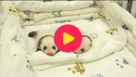 Pandatweeling
