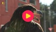 roofvogel vangt drone