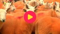oranje schapen